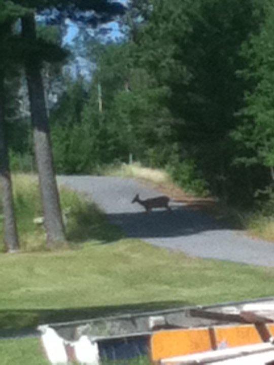137 deer on driveway into resort.jpg