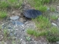 144 Yes there_'s turtles in Canada.jpg