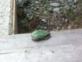 W134 A tree toad.jpg